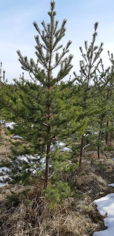 "Сосна Банкса ""Pinus banksiana"""