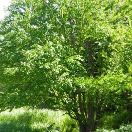 Багрянник японский 'Cercidiphyllum japonicum'