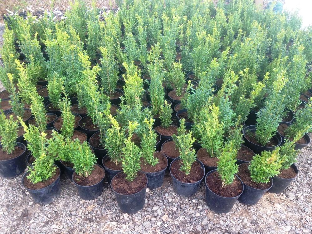 Самшит вечнозеленый 'Buxus'