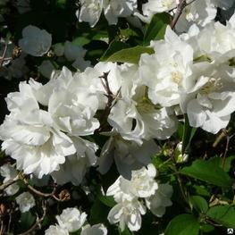 """Чубушник гибридный """"Bouquet Blanc"""""""