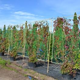 Девичий виноград 'Parhenocissus'