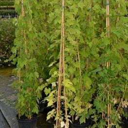 Амурский виноград 'Vitis amurensis'