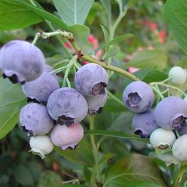 """Голубика садовая """"Brigitta Blue"""""""