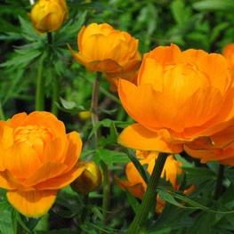 Купальница культурная 'Orange Princess'