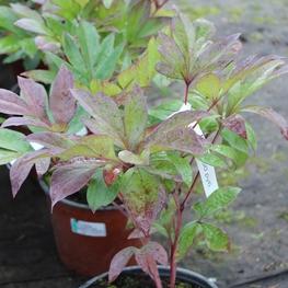 Пион травянистый 'Paeonia'
