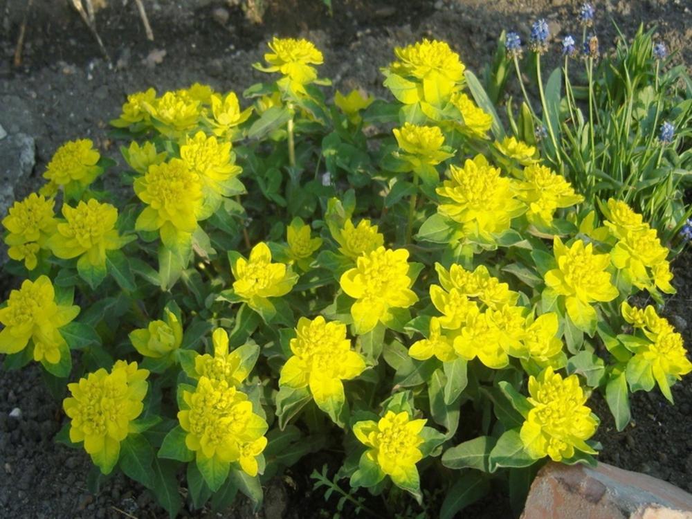"""Молочай многоцветковый """"Euphorbia"""""""