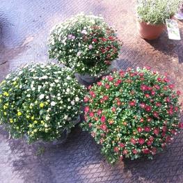 Хризантема 'Chrysanthemum'