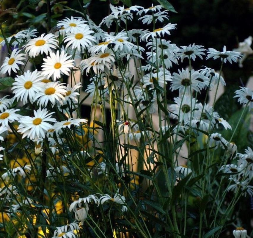 """Нивяник наибольший """"Leacanthemum"""""""