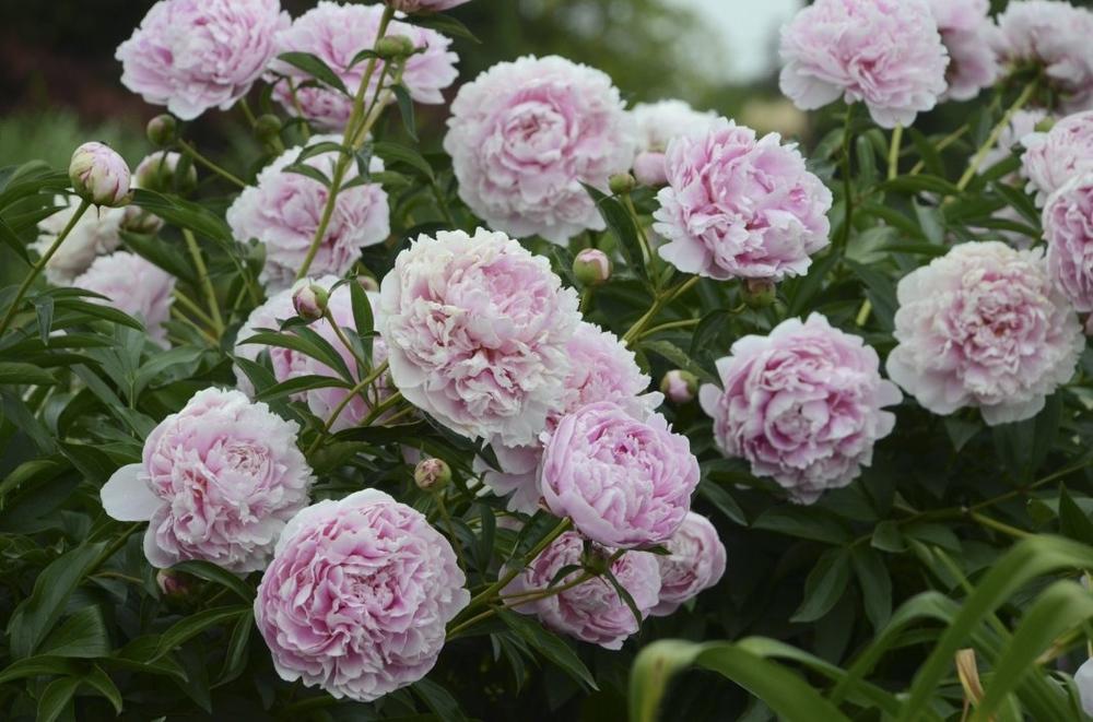 Пион молочноцветковый 'Paeonia'