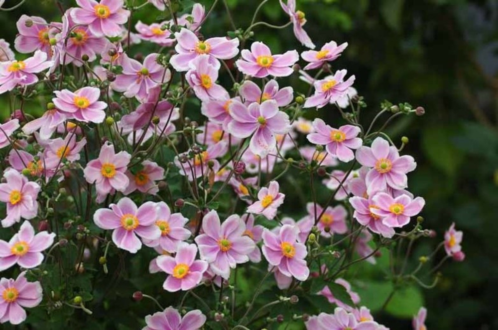Анемона войлочная 'Robustissima'