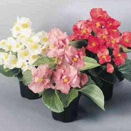 """Бегония вечноцветущая """"Begonia"""""""