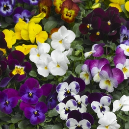 "Виола рогатая ""Viola cornuta"""