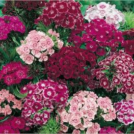 """Гвоздика """"Dianthus"""""""
