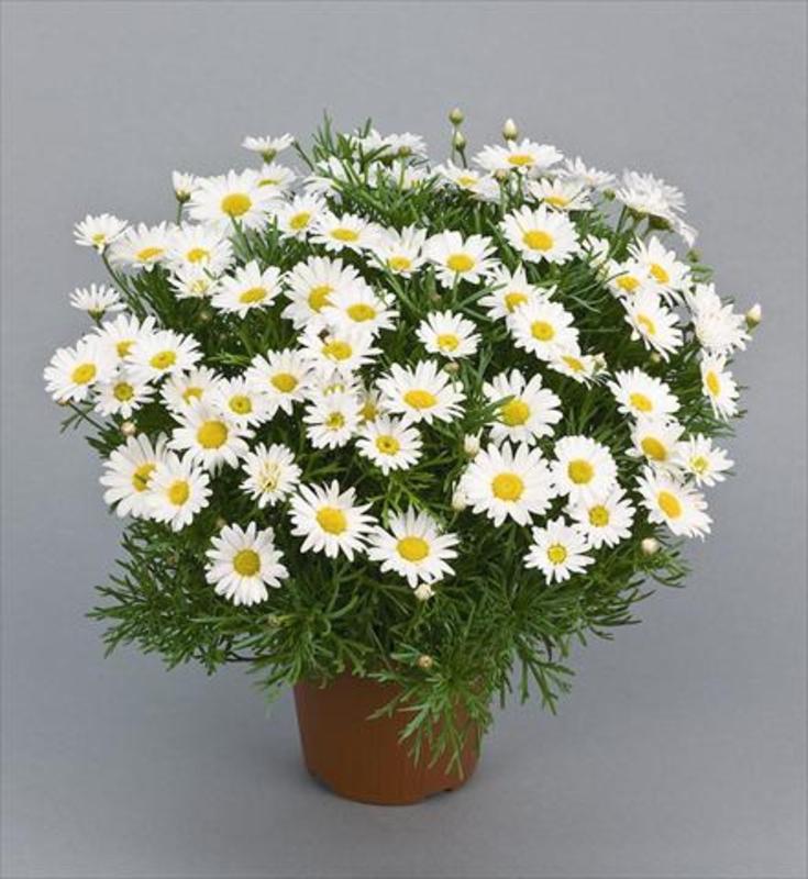 "Аргирантемум ""Argyanthemum"""