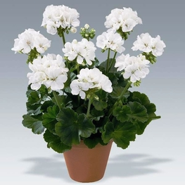 """Пеларгония махровая """"Pelargonium"""""""