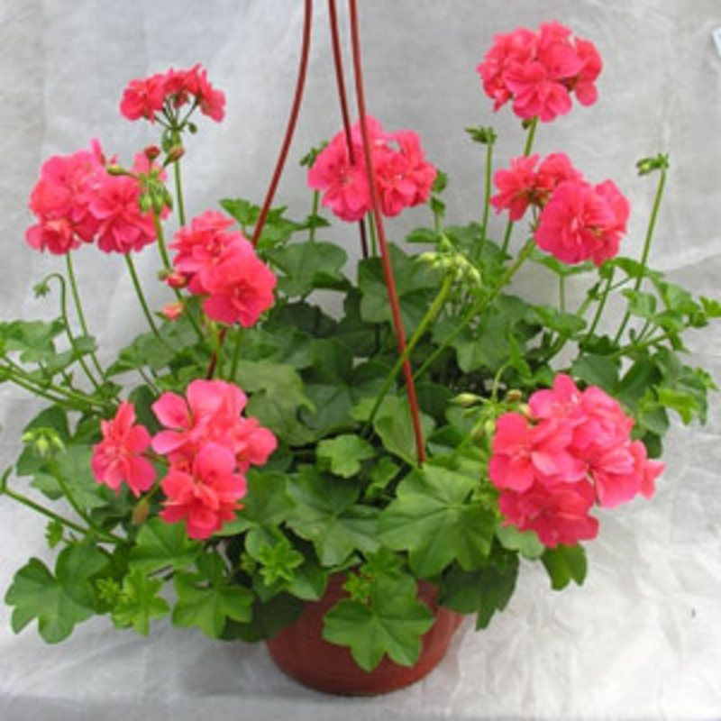 """Пеларгония плющелистная """"Pelargonium"""""""
