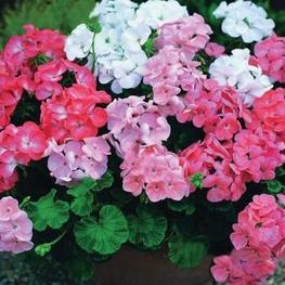 """Пеларгония """"Pelargonium"""""""