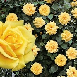 Роза плетистая Клайминг Ландора