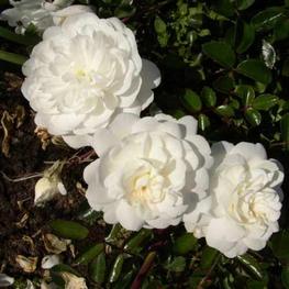 Роза почвопокровная Двоф Вайт