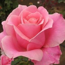 Роза чайно-гибридная Бель Анж