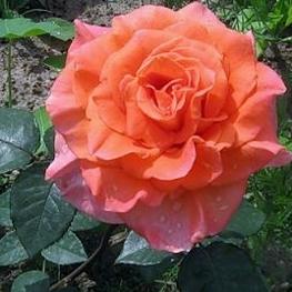Роза чайно-гибридная Амбассадор