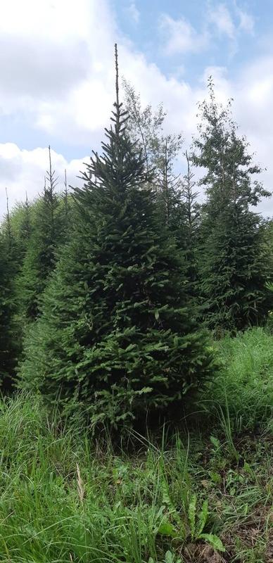 Ель обыкновенная Extra 'Picea abies'