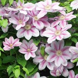 "Клематис крупноцветковый ""Bees Jubilee"""