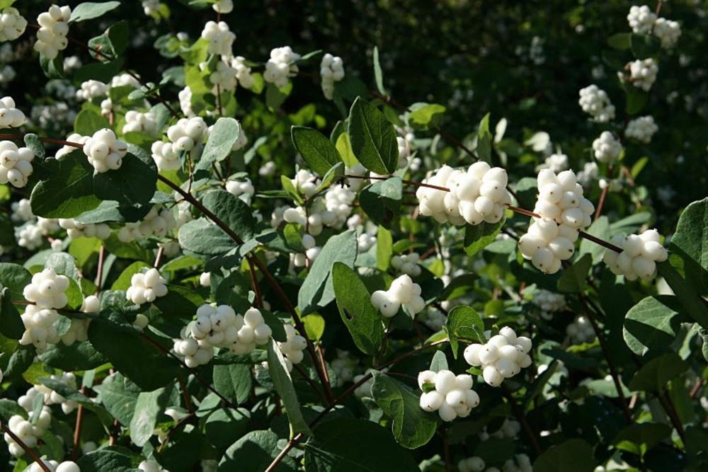 """Снежноягодник Доренбоза """"White Hedge"""""""