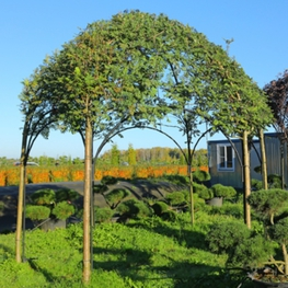 Рябина обыкновенная 'Sorbus'