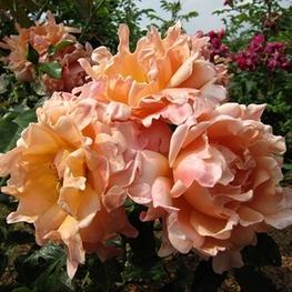Роза флорибунда Раффлс Дрим