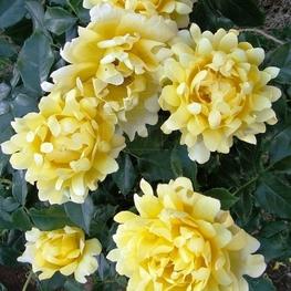 Роза флорибунда Сплендид Раффлс
