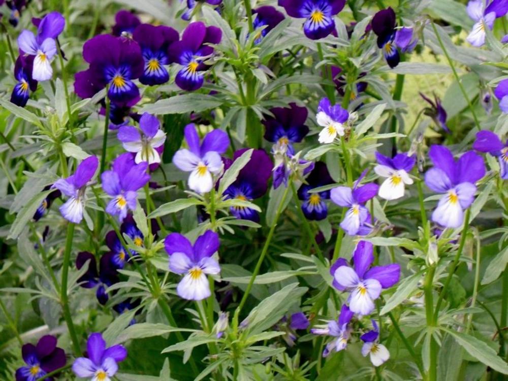 "Фиалка рогатая ""Viola cornuta"""