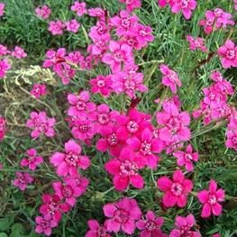 """Гвоздика травянка """"Dianthus"""""""