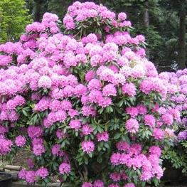 Рододендрон гибридный 'Roseum Elegans'