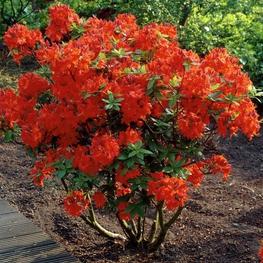 Рододендрон листопадный 'Gibraltar'