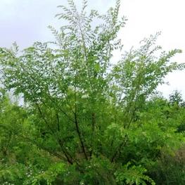 Вяз мелколистный 'Ulmus parvifolia'