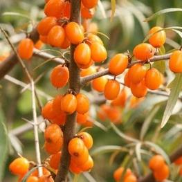 """Облепиха крушиновидная """"Friesdorfer Orange"""""""