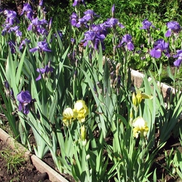 Ирис германский 'Iris'