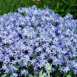 Флокс растопыренный 'Blue Perfume'