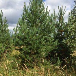 """Сосна обыкновенная """"Pinus sylvestris"""""""