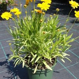"""Кореопсис крупноцветковый """"Coreopsis"""""""