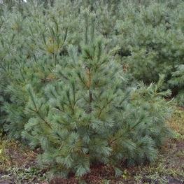 Сосна веймутова 'Pinus strobus'