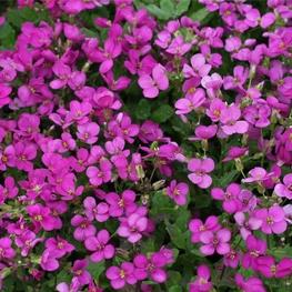 Арабис реснитчатый 'Spring Charm'