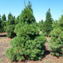 """Сосна веймутова Extra """"Pinus strobus"""""""
