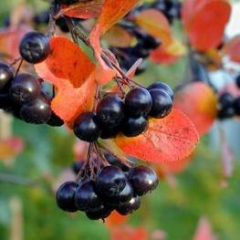Рябина черноплодная 'Aronia melanocarpa'