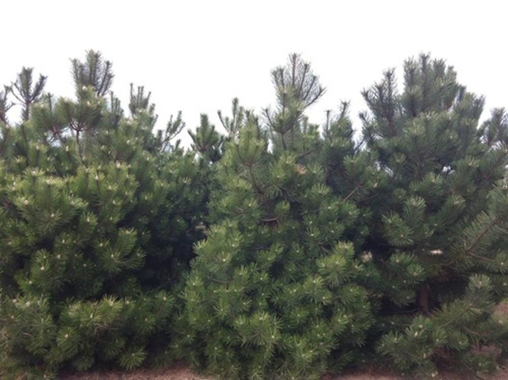 """Сосна черная """"Pinus nigra"""""""