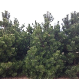 Сосна черная 'Pinus nigra'