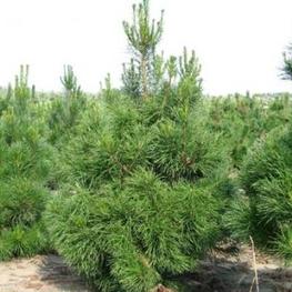 """Сосна скрученная """"Pinus contorta"""" Солитер"""