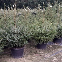 Ель сербская 'Picea omorika'