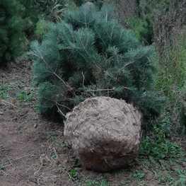 """Сосна обыкновенная Extra """"Pinus sylvestris"""""""
